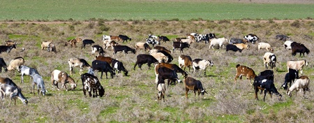goats at the meadow photo