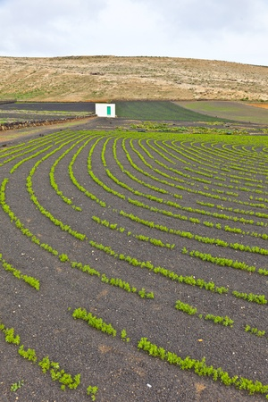 field with irrigation system on volcanic lapilli ground photo