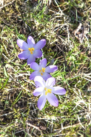 beautiful crocus in the garden photo