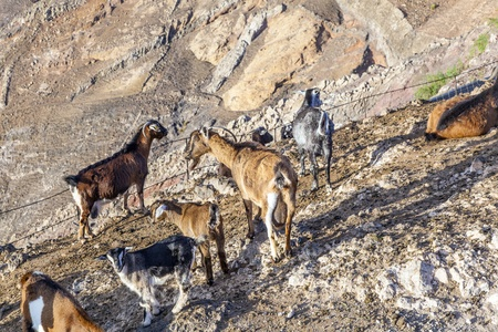 flock of goats in the mountains of a cheese diary Stock Photo - 13276817