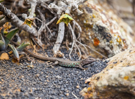 desert lizard: lizard on volcanic ground in the canaries