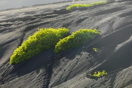 A vineyard in Lanzarote island, growing on volcanic soil Stock Photo - 13370045