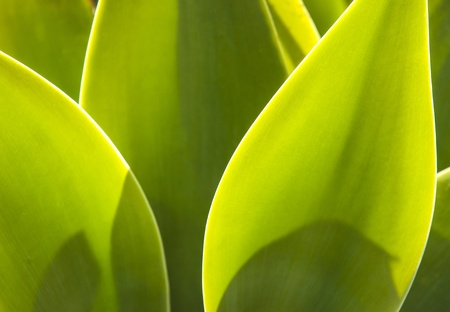 Agave plant in natural sunlight photo