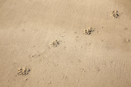footsteps of a dog at the beach photo