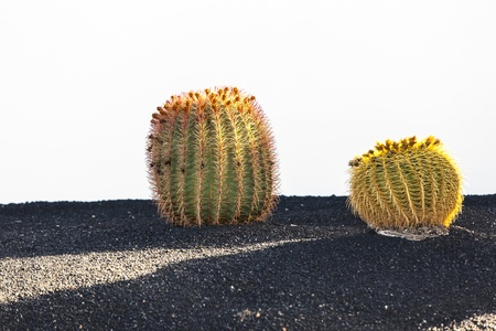 Cactuses in Lanzarote island, Spain Echinocactus grusonii  Golden Barrel Cactus, Mother-in-Law Stock Photo - 13370870