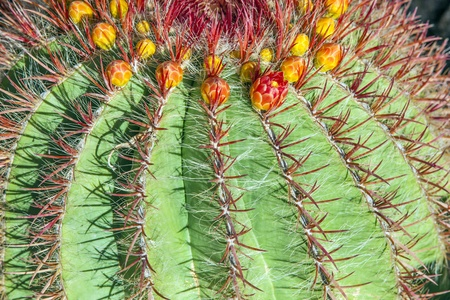 Cactuses in Lanzarote, Spain Echinocactus grusonii  Golden Barrel Cactus, Mother-in-Law Stock Photo - 13370908