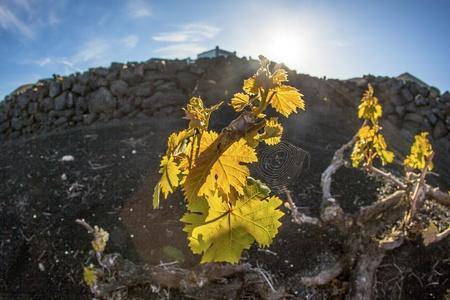 ingenuity: A vineyard in Lanzarote island, growing on volcanic soil
