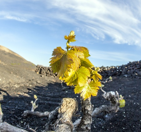 A vineyard in Lanzarote island, growing on volcanic soil Stock Photo - 13510790