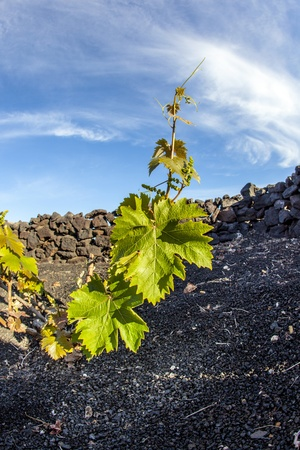 A vineyard in Lanzarote island, growing on volcanic soil Stock Photo - 13510844