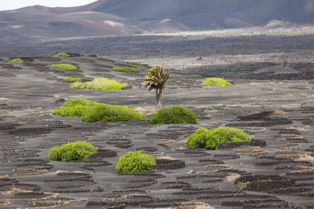 wineyard: palm tree in volcanic wineyard area La Geria in Lanzarote Stock Photo