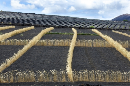 field on volcanic soil with golden row of corn in Lanzarote photo