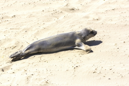 sea lion relaxing at the sandy beach photo