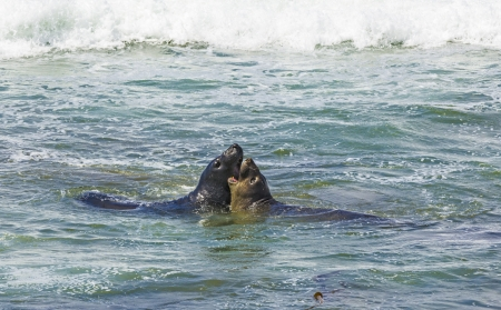 male sea lions fight in the waves of the ocean photo