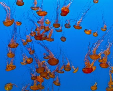 jelly fish in the blue sea photo