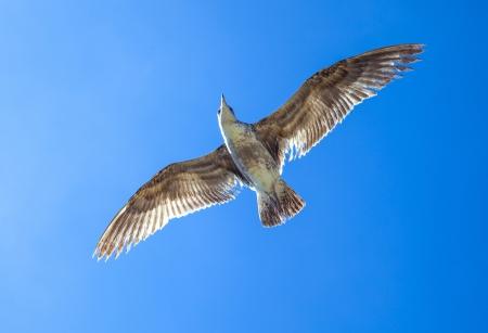 california gull flying in the blue sky photo