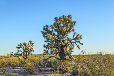 joshua tree in warm bright light photo