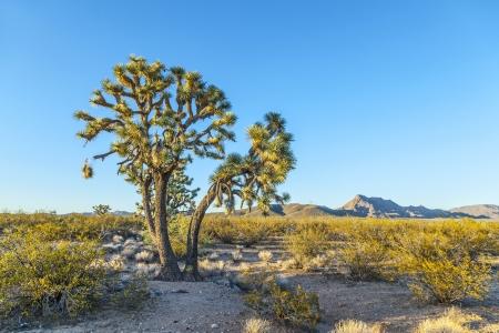 joshua tree in warm bright light Stock Photo - 14505693