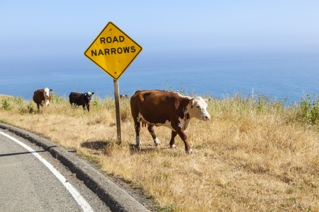 cow grazing at the meadow on the cliffs of the shoreline at the pacific ocean photo