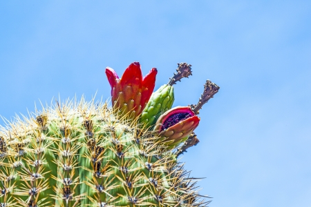 tuscon: blooming cacti in the desert with blue sky Stock Photo