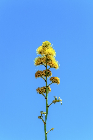 blooming yellow desert flower in detail in the desert with blue sky photo