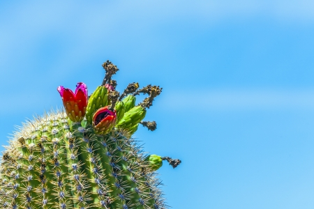 tuscon: blooming cactus in detail in the desert with blue sky Stock Photo