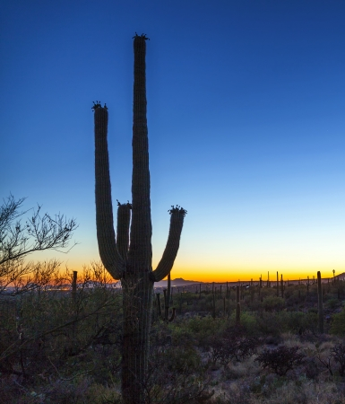 cactus with golden sunset and blue sky Stock Photo - 14675171