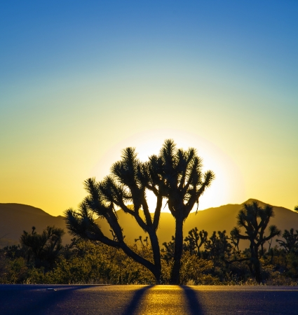 joshua: joshua trees with mountains in golden sunset Stock Photo