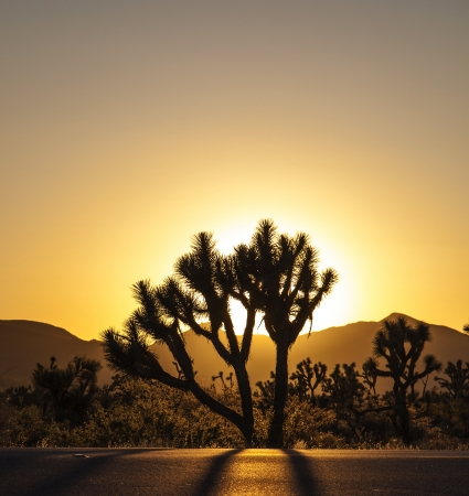 mojave desert: joshua trees with mountains in golden sunset Stock Photo