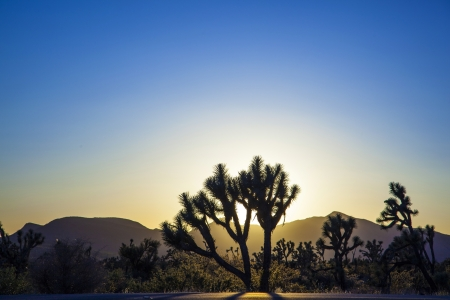 joshua trees with mountains in golden sunset photo