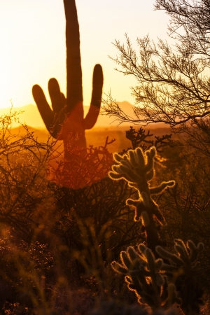 cactus in the desert in romantic sunset photo