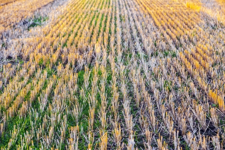 pattern of corn field after harvest Stock Photo - 14896161