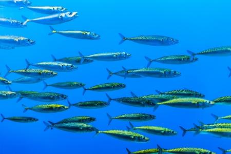 peces de acuario: enjambre de peces de plata en el mar azul Foto de archivo