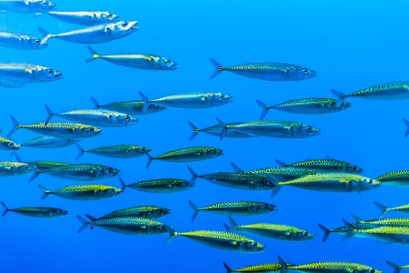 exotic fish: swarm of silver fishes in the blue sea