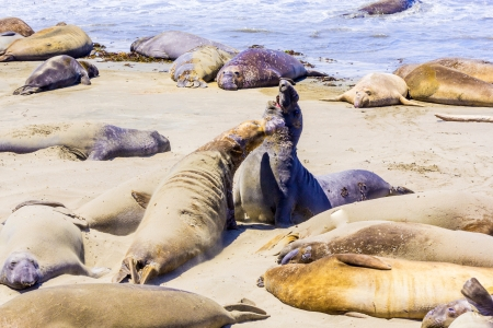 Sealions relax and sleep at the sandy beach Stock Photo - 14941130