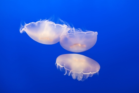 jelly fish in the blue sea Stock Photo - 14941042