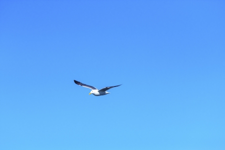california gull flying in the blue sky photo