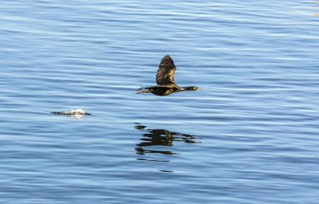 cormoran hunting and flying over the surface of the ocean Stock Photo - 14941048