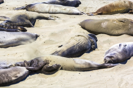 Sealions relax at the beach photo