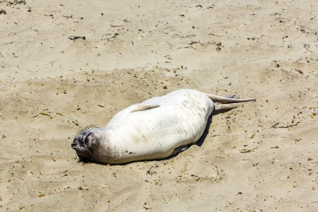 Sealion  relaxes and sleeps at the sandy beach photo