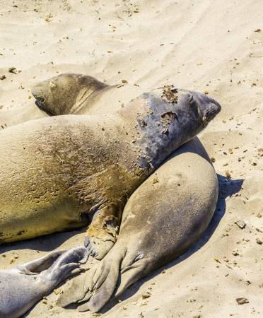 Sealions relax and sleep at the sandy beach photo