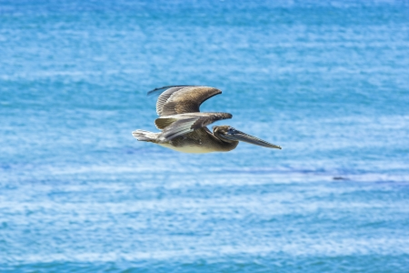 pelikan: cormoran hunting and flying over the surface of the ocean Stock Photo