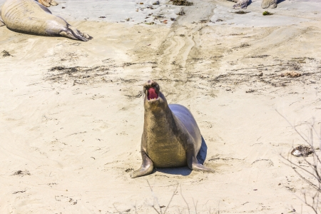 shouting male sea lion at the sandy beach photo
