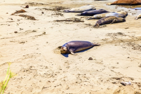 crawling young male Sea lions at the sandy beach photo