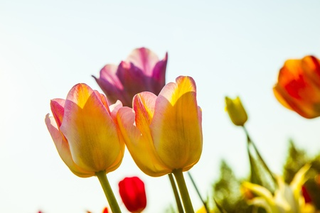 Spring field with blooming colorful tulips Stock Photo - 15022651