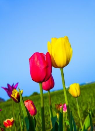 Spring field with blooming colorful tulips Stock Photo - 15023177