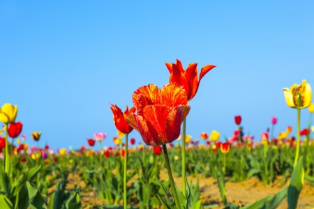 Spring field with blooming colorful tulips Stock Photo - 15023208