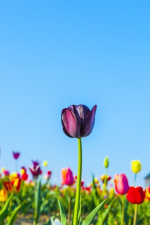 Spring field with blooming colorful tulips Stock Photo - 15023204