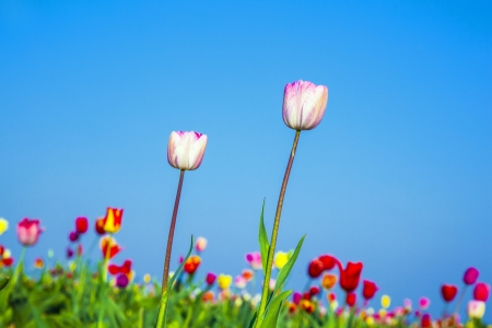 Spring field with blooming colorful tulips photo