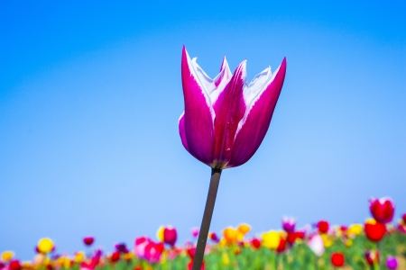 Spring field with blooming colorful tulips Stock Photo - 15023285