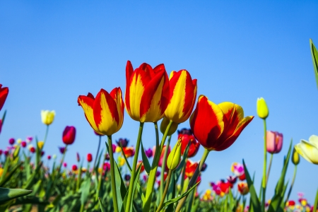 Spring field with blooming colorful tulips Stock Photo - 15023291